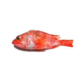 Cantarilho - Peixe de Mar