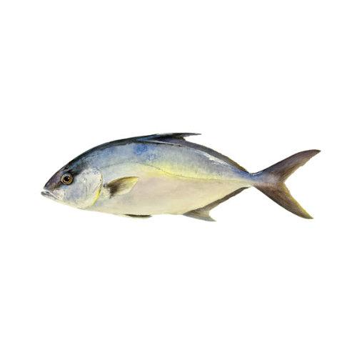 Lírio dos Açores - Peixe de Aquicultura