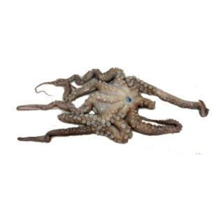 Polvo - Cefalópodes