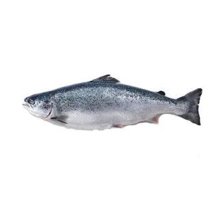Salmão - Peixe de Aquicultura