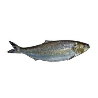 Sável - Peixe de Rio